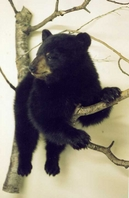 Mr. Fish Taxidermy Full size Bear Mount