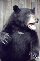 Mr. Fish Taxidermy half mount upright Black Bear