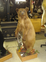 Mr. Fish Taxidermy life size bear mount