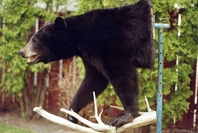 Mr. Fish Taxidermy Half Mount Black Bear